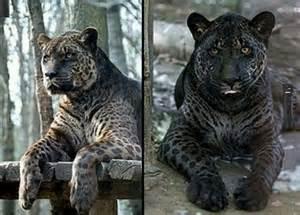 Jaguar And Tiger Hybrid Jaglion Adorkable Animals Jaguar And