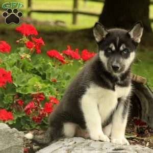 husky puppies denver siberian husky puppies for sale in pa
