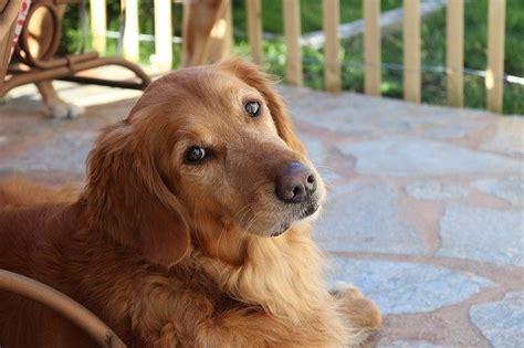 alimentazione cucciolo golden retriever razze cani il golden retriever caratteristiche e