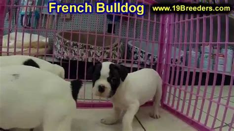 french bulldog frenchie puppies dogs  sale