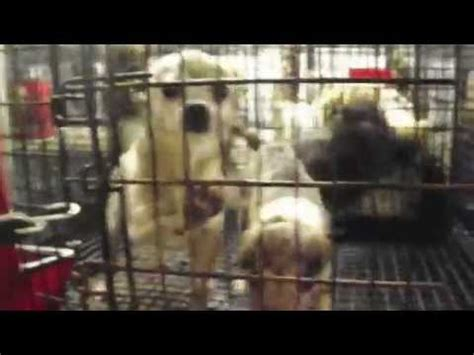 puppy mills in ohio aspca rescues 70 dogs from mo puppy mill funnydog tv