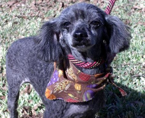 how to do a bob marley poodle cut on a dog bob marley poodle miniature humane society of dallas