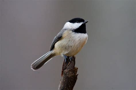 carolina chickadee celebrate urban birds