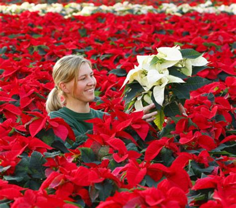 Stelan Next Flower history of the poinsettia howstuffworks