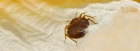 Photo Of Bed Bugs by How To Get Rid Of Bed Bugs Rentokil Pest