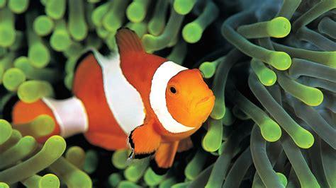 wallpaper clownfish underwater  diving sites