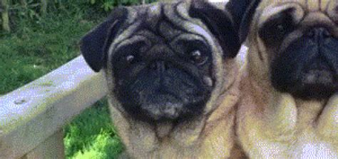 how do teacup pugs live gif swanson says quot don t even care quot gifrific