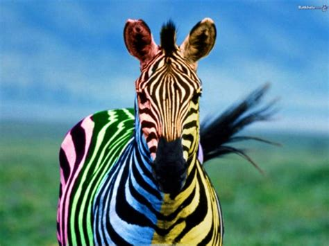 colorful zebra wallpaper 30 awesome zebra wallpaper collection creativefan