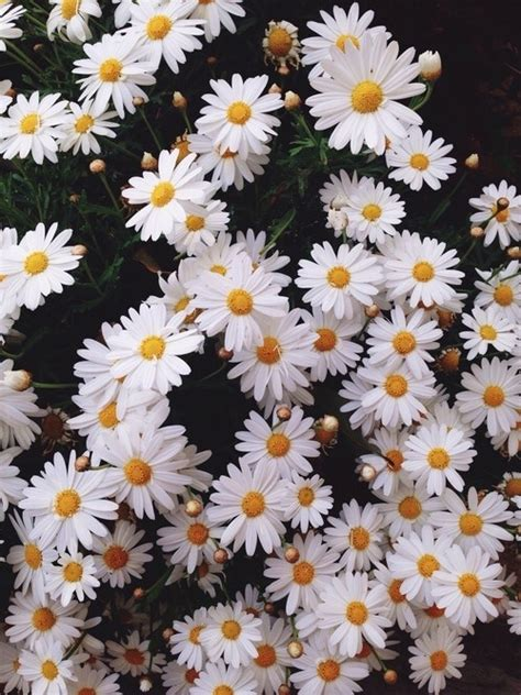 tumblr wallpapers daisies daisy flowers background tumblr