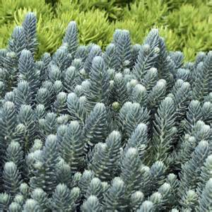 blue spruce green meadow growers