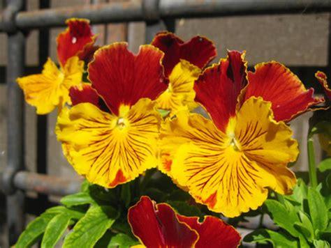 sognare fiori gialli fiori e gialli stratfordseattle