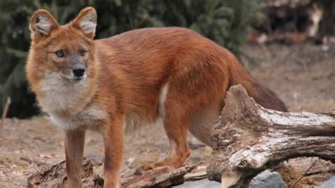 dhole puppy minnesota zoo dhole asian minnesota zoo