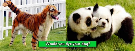 how to a puppy when you another dyeing dogs to look like animals panda tiger zebra or bad