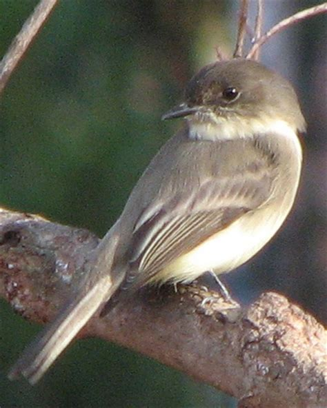 17 best images about georgia birds on pinterest indigo