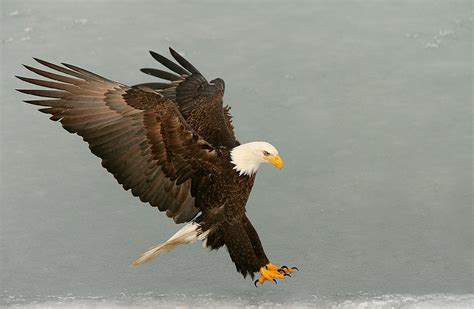 Foot Detox Eagles Landing by Blur Guide Coming Baa Bulletin 338 Want Bald Eagles