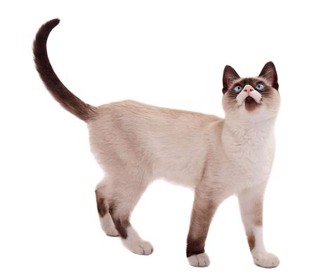 what breed are you 25 adorable cat breed names