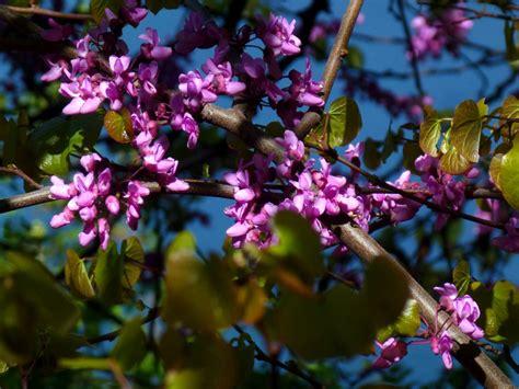 fiori albero di giuda fiori dell albero di giuda zoom giornale di brescia