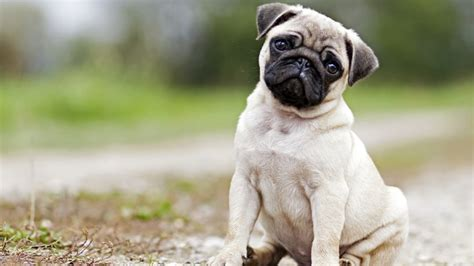 pug and bulldog 15 cutest puppies that will melt your barking royalty