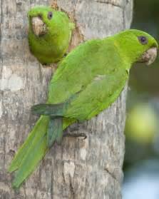 Green parakeet audubon field guide