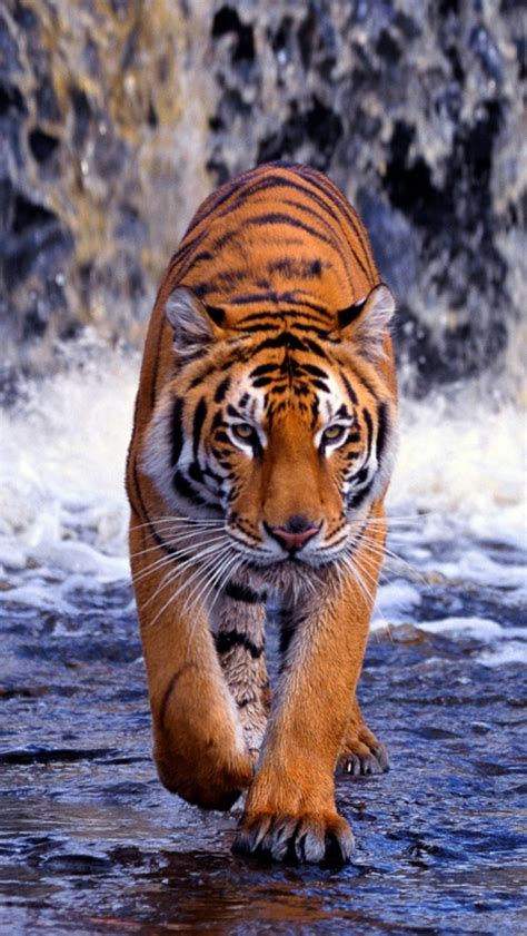 wallpaper iphone 6 tiger wild tiger best view iphone free hd images background