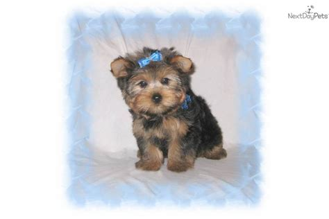 do yorkies have thick hair or then hair yorkies with thick hair best 25 yorkshire terrier