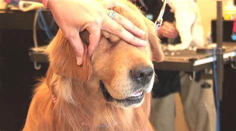 yorkie ear hair removal grooming tips trimming hair around ears hairstylegalleries