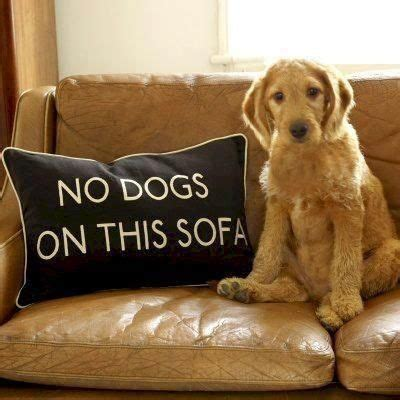 how to stop dog getting on sofa no dogs on this sofa pillow perritas pinterest