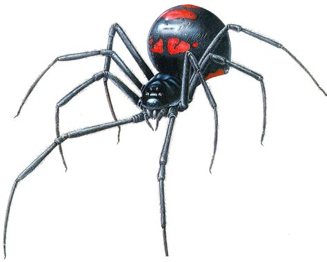Black Widow Spider Latrodectus Fun Animals Wiki
