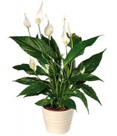 peace lily peace lily plant
