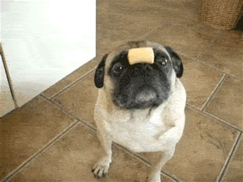 how much are pugs uk 16 gifs that show why pugs are much better than metro news