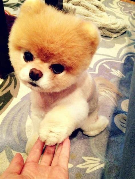 pomeranian boo haircut 17 best ideas about pomeranian boo on boo the cutest pomeranian