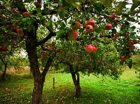 what fruit tree is this unquantifiable fruit newton homilies