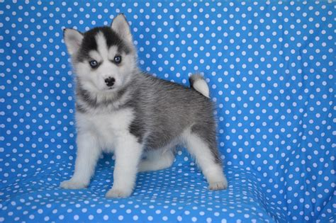 free pomsky puppies free puppies puppies for sale free puppy puppies for caroldoey pets world
