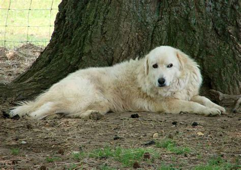 maremma puppies maremma dogs for sale rural ramblings