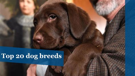 top dog breeds america s top 20 dog breeds hartford courant