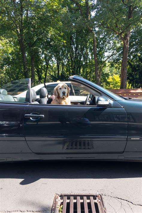 golden retriever driving golden retriever driving a car bilder und fotos