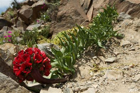 fiore deserto 2011 in cile il deserto fiorito d 224 spettacolo fiori e