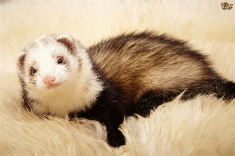 Checking your ferret over and identifying good health