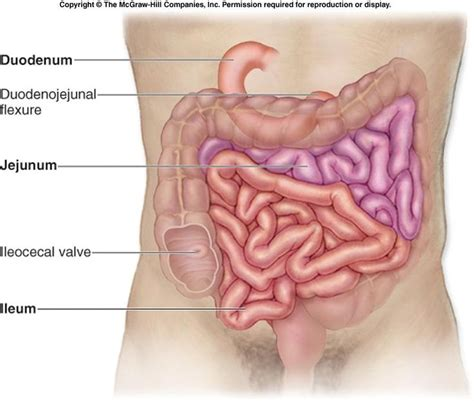 small intestine connects to stomach small intestine