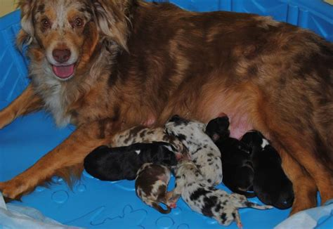 shamrock rose aussies exciting news shamrock rose big eds fireworks litter