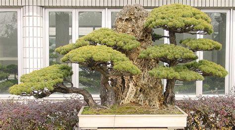 garten bonsai winterfest machen m 228 dchenkiefer bonsai