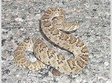 Western Diamondback Rattlesnake Facts and Pictures Western Diamondback Rattlesnake Head