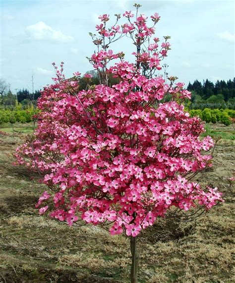 small pink tree 17 best images about flowering dogwoods on