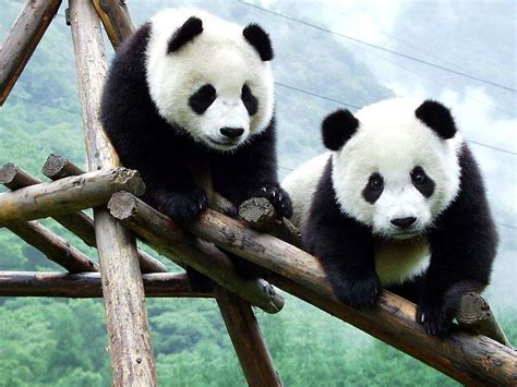wallpaper hd panda baby panda wallpapers wallpaper cave