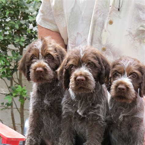 wirehaired pointing griffon puppies theboys jpg