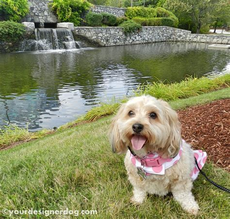 yorkie watery a watery tongue out tuesday yourdesignerdog