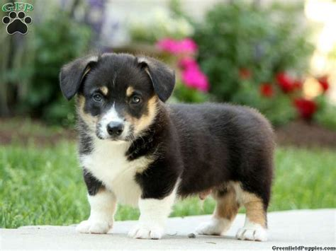 corgi puppies for sale in kansas 25 best ideas about corgi puppies for sale on corgi dogs for sale corgis