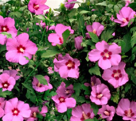 cottage farms hibiscus cottage farms 3 flamingo hardy hibiscus shrub page 1 qvc