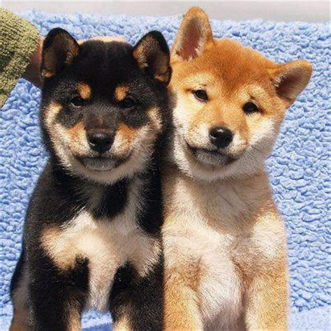 Shiba Inu Also Search For 25 Best Ideas About Shiba Inu Doge On Shiba Inu Puppies Shiba Inu And
