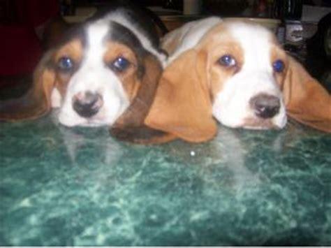 basset hound puppies oklahoma basset hound puppies in oklahoma